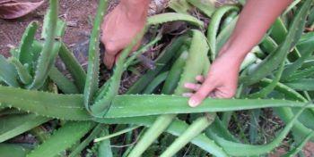 Illustration : Aloe vera : couteau suisse de notre trousse de secours